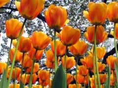 цветение, тюльпан, цветы