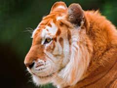 тигр, золотистый, тигров Фон № 113374 разрешение 1920x1200