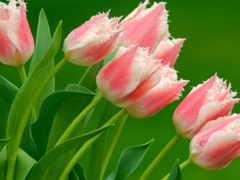 цветы, flowers Фон № 2133 разрешение 1920x1080