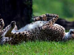 гепард, хищник, спит