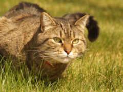 кот, domestic, tabby