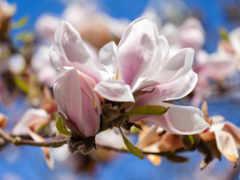 магнолия, цветы, дерево