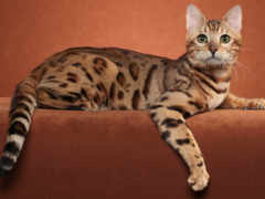 кот, бенгальская, кошки Фон № 170695 разрешение 2560x1600