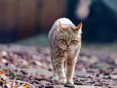 кот, женский, oir