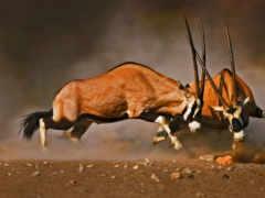 oryx, antilopen, beim