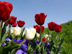 тюльпан, white