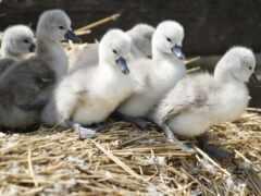серый, gusak, goose