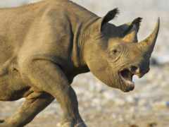 носорог, носорогов