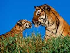 тигрица, кошки, тигрёнок
