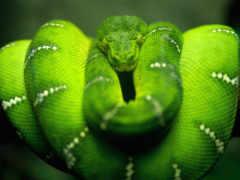 змеи, змей, африки