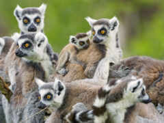 animal, lemur, мадагаскар