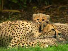 гепард, детёныш, animal