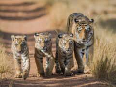 тигр, тигр, тигрёнок