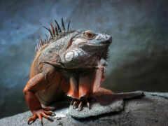 ящер, iguana, лапа