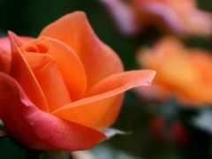 роза, страница, установить