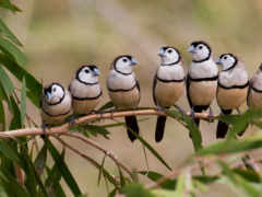 finch, double, barred