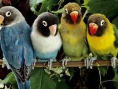 неразлучники, попугаи, картинка