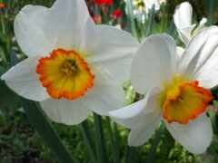 april, цветы, narcissus
