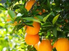 дерево, оранжевый, цитрус