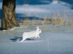 заяц, зимой, зайца