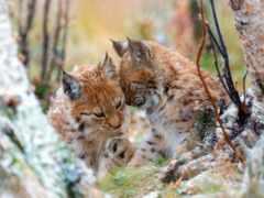 рысь, кот, wild