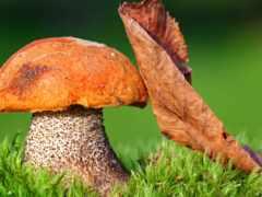 mushroom, день, national