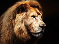 лев на черном фоне