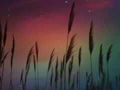 пшеница, растение, aurora