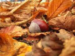 листья, каштан