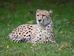 гепард, animal, трава