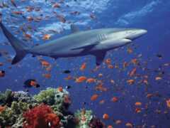 акула, marine, underwater