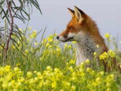 фокс, animal, трава