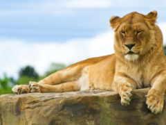 львица, лев, просмотреть