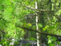 лес, tropical, хвойный
