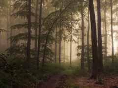 wood, woods, туман