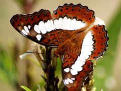 бабочка, white, браун