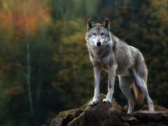 волк, pinsk