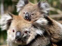 коала, animais, animal