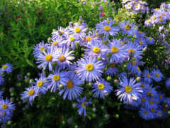 astra, aster, цветы