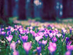 весна, flowers, desktop