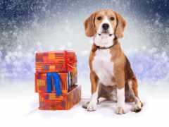 одежда, beagle, мужская