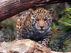 jaguar, охота