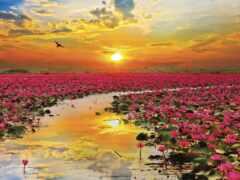lotus, медитация