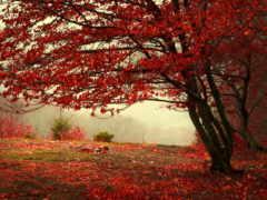осень, листва, красные