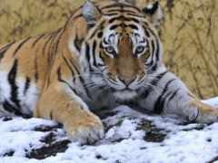 тигр, снег, oir