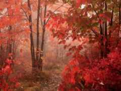 red, туман, лес