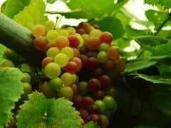 plus, fresh, uva