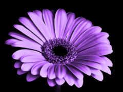цветы, flowers, purple