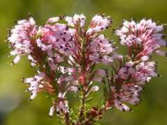 erica, цветы, dimension