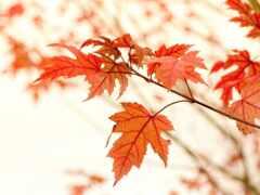 лист, klnyi, branch